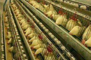 قیمت قفس مرغ تخمگذار