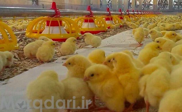 پوشش کف مرغداری چه اهمیتی در پرورش طیور دارد؟